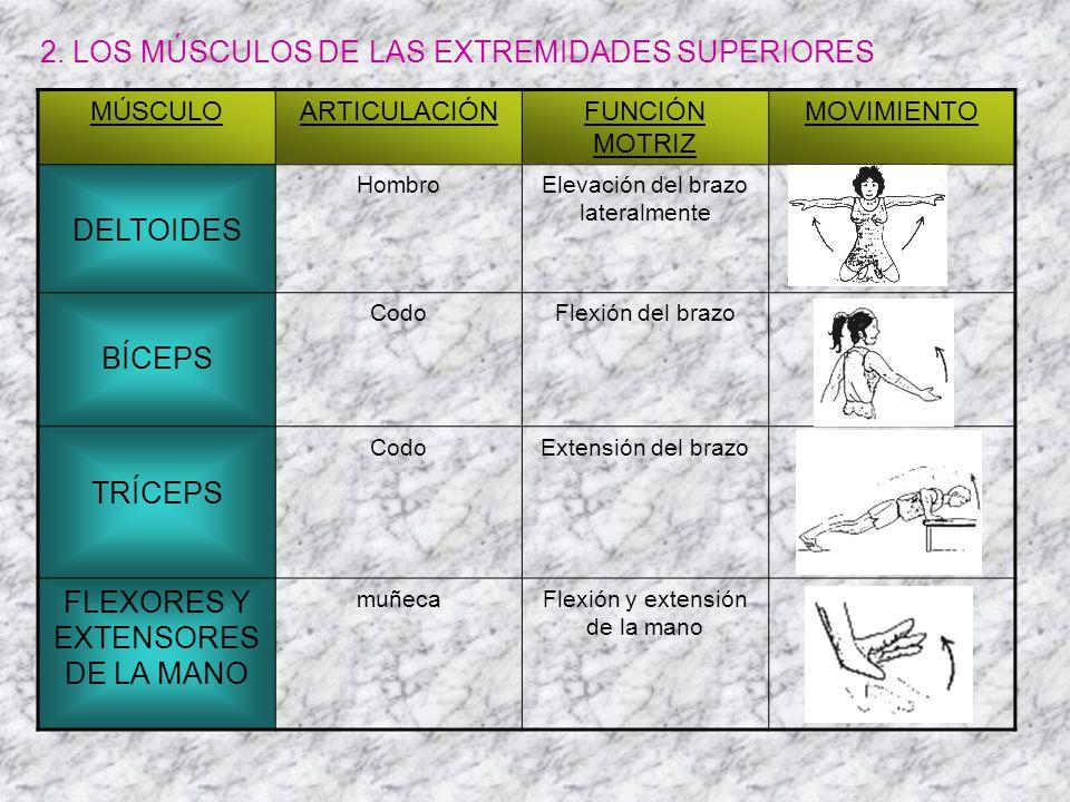 2. LOS MÚSCULOS DE LAS EXTREMIDADES SUPERIORES MÚSCULOARTICULACIÓNFUNCIÓN MOTRIZ MOVIMIENTO DELTOIDES HombroElevación del brazo lateralmente BÍCEPS Co