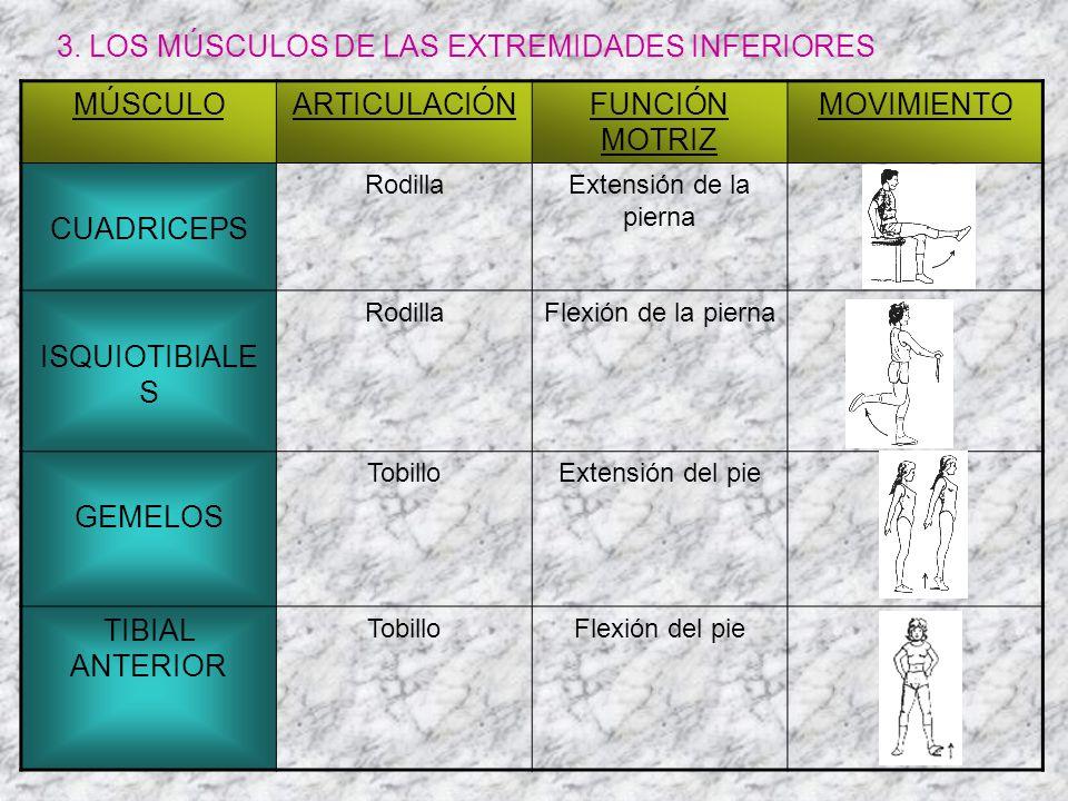 3. LOS MÚSCULOS DE LAS EXTREMIDADES INFERIORES MÚSCULOARTICULACIÓNFUNCIÓN MOTRIZ MOVIMIENTO CUADRICEPS RodillaExtensión de la pierna ISQUIOTIBIALE S R