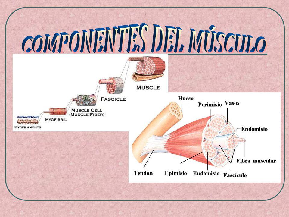 1.Los músculos del tronco CARA ANTERIOR MúsculoArticulaciónFunción motrizMovimiento ESTERNOCLEI DO- MASTOIDEO CuelloFlexión del cuello, rotación de la cabeza PECTORAL HombroElevación de los hombros ABDOMINALES Columna vertebralFlexión de tronco hacia delante OBLICUOS Columna vertebralFlexión lateral del tronco