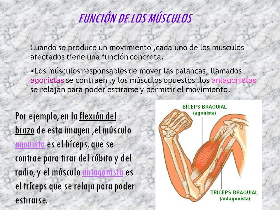 FUNCIÓN DE LOS MÚSCULOS Cuando se produce un movimiento,cada uno de los músculos afectados tiene una función concreta. Los músculos responsables de mo