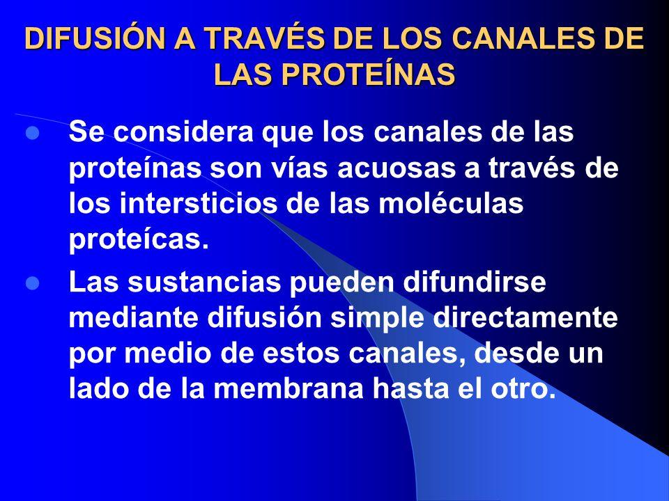 DIFUSIÓN A TRAVÉS DE LOS CANALES DE LAS PROTEÍNAS Se considera que los canales de las proteínas son vías acuosas a través de los intersticios de las m