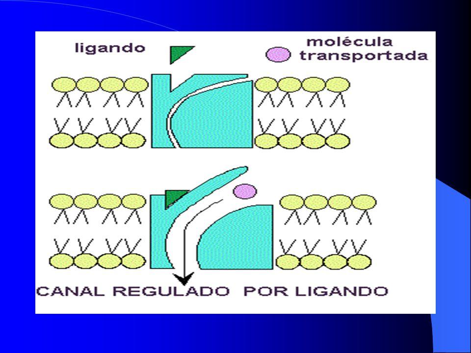 FACTORES QUE AFECTAN LA TASA DE DIFUSIÓN NETA Resulta evidente que numerosas sustancias pueden difundirse a través de la membrana celular o por medio de los canales de proteínas.