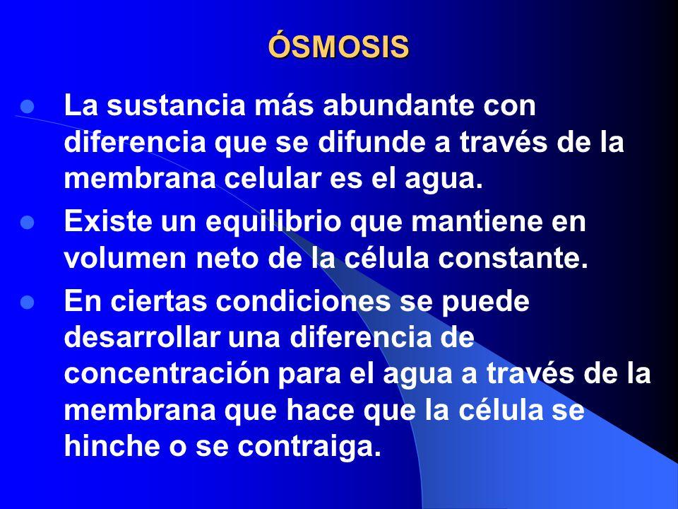 ÓSMOSIS La sustancia más abundante con diferencia que se difunde a través de la membrana celular es el agua. Existe un equilibrio que mantiene en volu