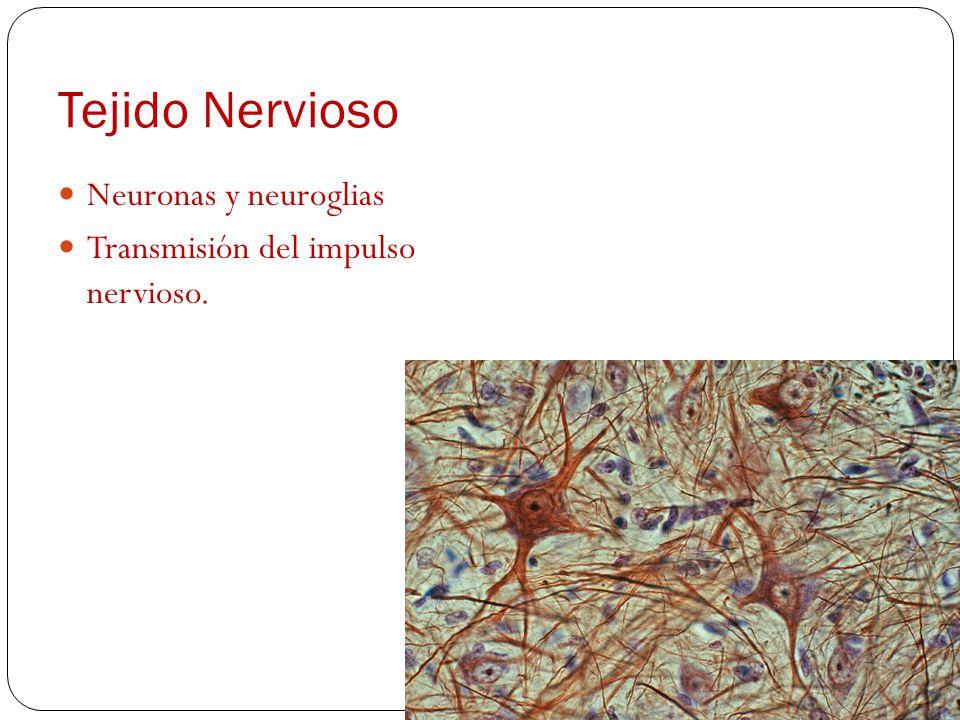 Tejido Óseo Forma y sostén al organismo Osteocitos Tejido esponjoso Tejido compacto