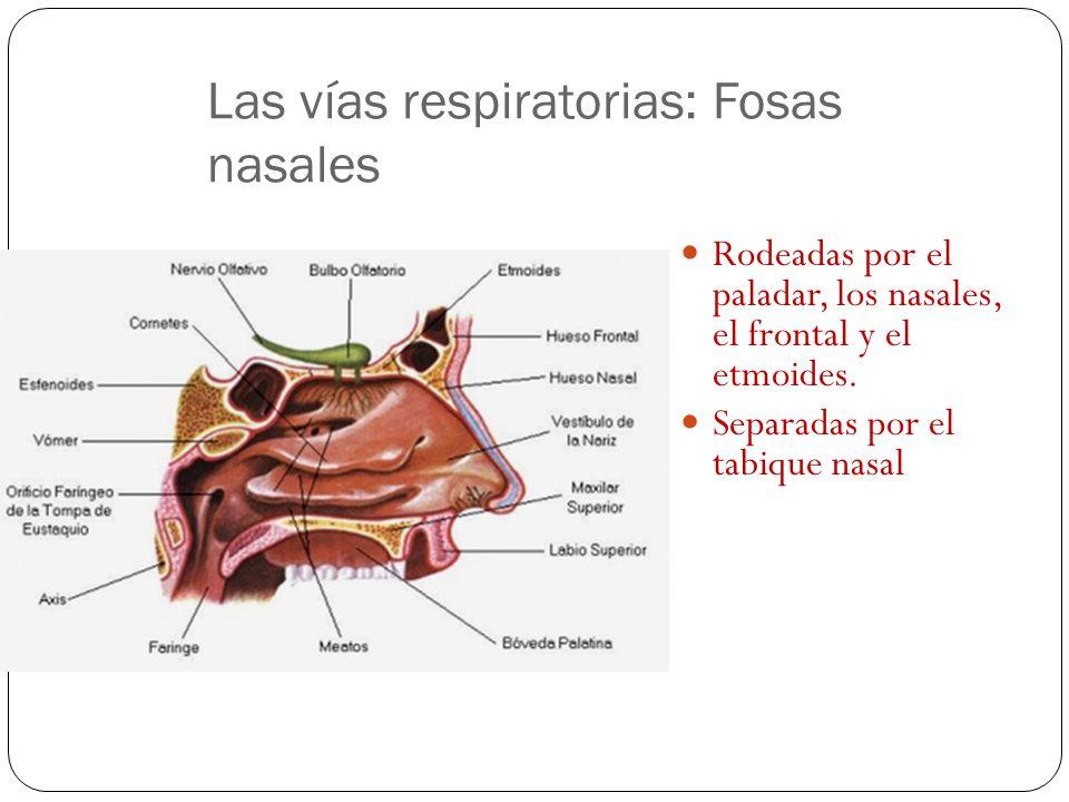 Ventilación pulmonar: inspiración y espiración. Intercambio gaseoso entre el aire y la sangre. Transporte de los gases por la sangre. Intercambio gase