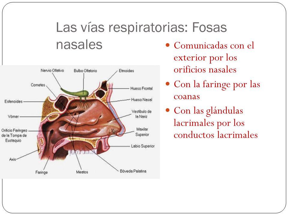 Las vías respiratorias: Fosas nasales Rodeadas por el paladar, los nasales, el frontal y el etmoides. Separadas por el tabique nasal