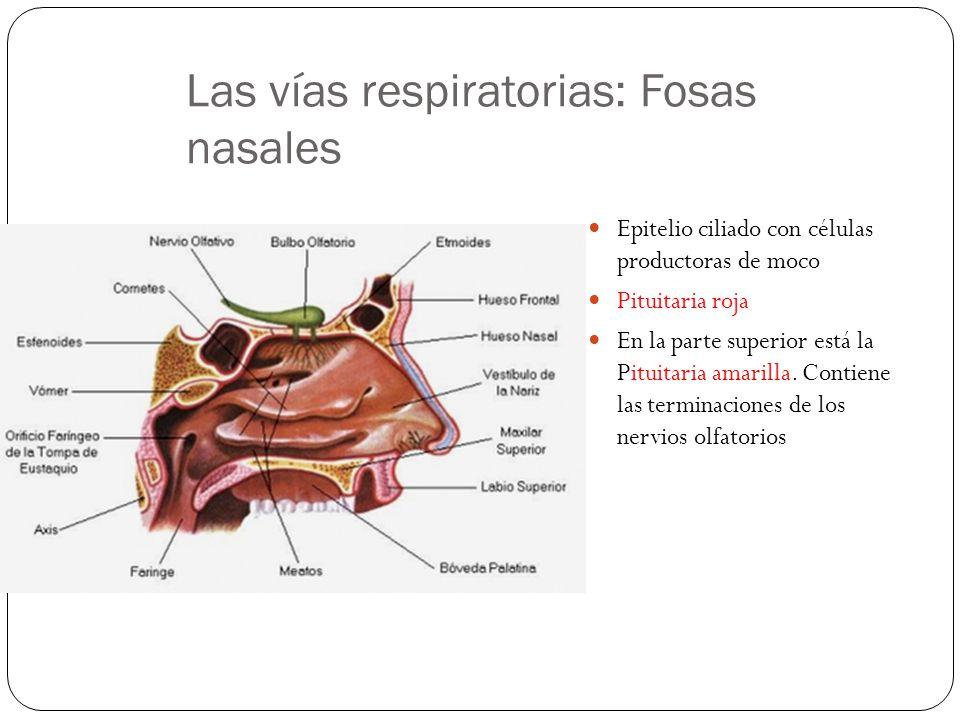 Las vías respiratorias: Fosas nasales Comunicadas con el exterior por los orificios nasales Con la faringe por las coanas Con las glándulas lacrimales