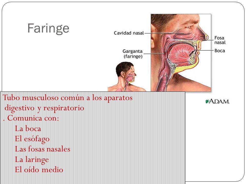 Las vías respiratorias: Fosas nasales Epitelio ciliado con células productoras de moco Pituitaria roja En la parte superior está la Pituitaria amarill
