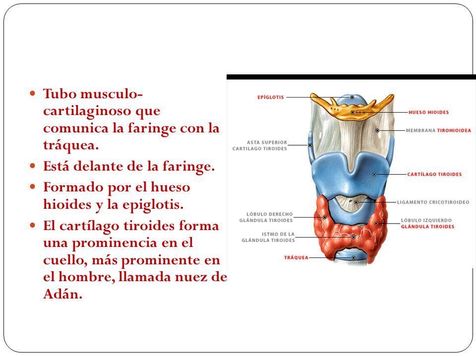 Faringe Tubo musculoso común a los aparatos digestivo y respiratorio. Comunica con: La boca El esófago Las fosas nasales La laringe El oído medio Tubo