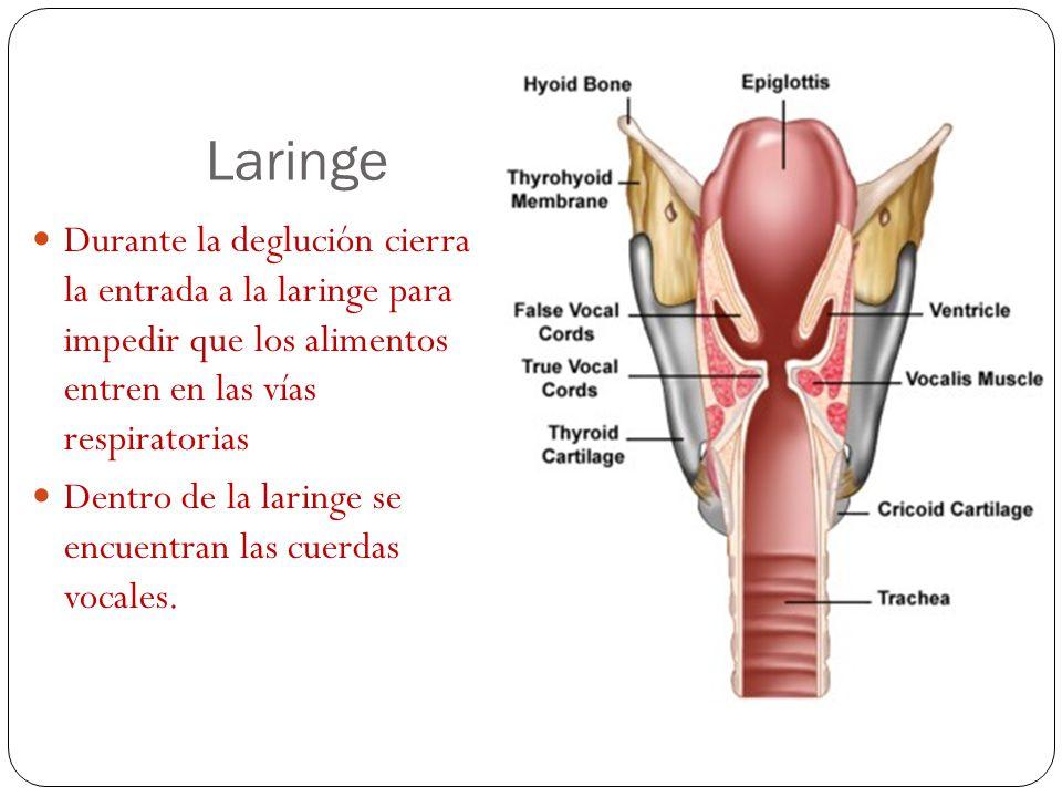 Laringe Tubo musculo- cartilaginoso que comunica la faringe con la tráquea. Está delante de la faringe. Formado por el hueso hioides y la epiglotis. E