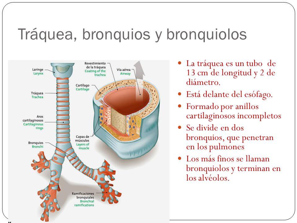 Laringe Durante la deglución cierra la entrada a la laringe para impedir que los alimentos entren en las vías respiratorias Dentro de la laringe se en