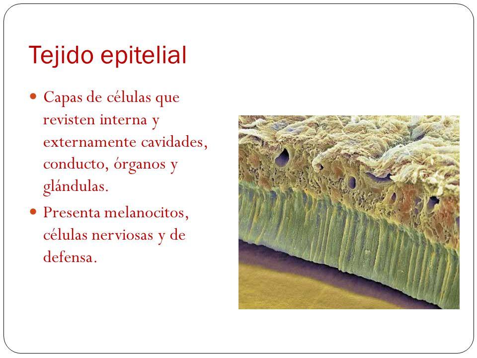Tejido sanguíneo Tejido conjuntivo Fase liquida (plasma) Fase sólida (células sanguíneas) Glóbulos rojos Gl. blancos Plaquetas