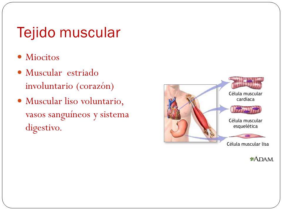 Tejido epitelial Capas de células que revisten interna y externamente cavidades, conducto, órganos y glándulas. Presenta melanocitos, células nerviosa