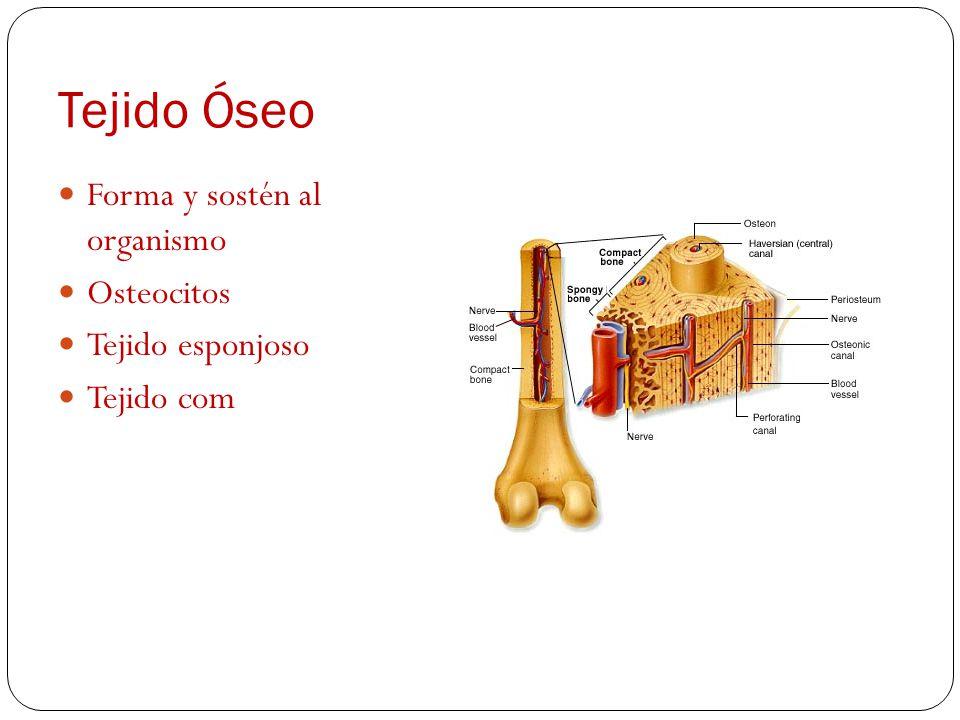 Tejido muscular Miocitos Muscular estriado involuntario (corazón) Muscular liso voluntario, vasos sanguíneos y sistema digestivo.