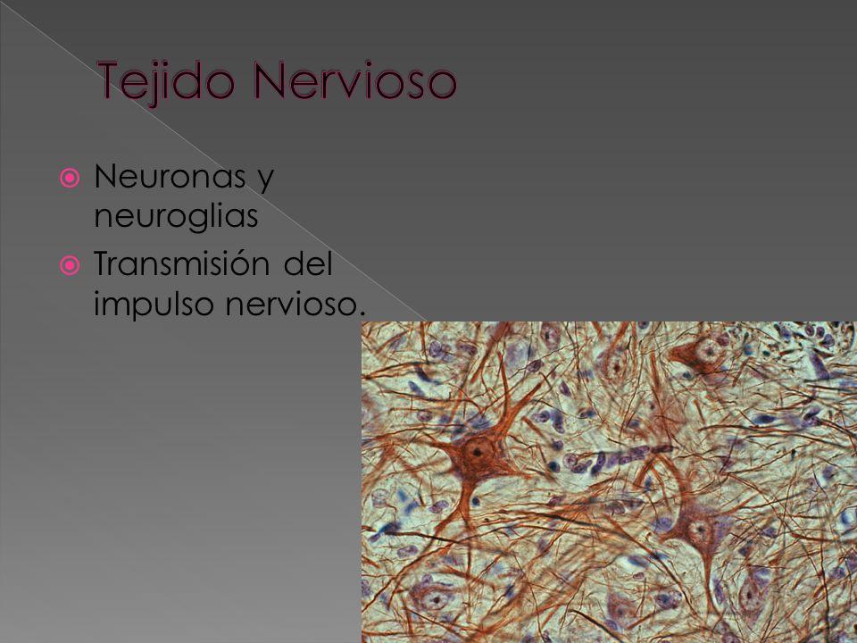 Forma y sostén al organismo Osteocitos Tejido esponjoso Tejido compacto