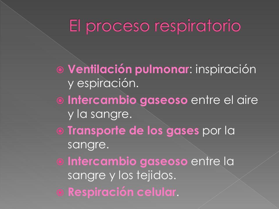 Vías respiratorias Fosas nasales Faringe Laringe Tráquea Bronquios Bronquiolos Pulmones