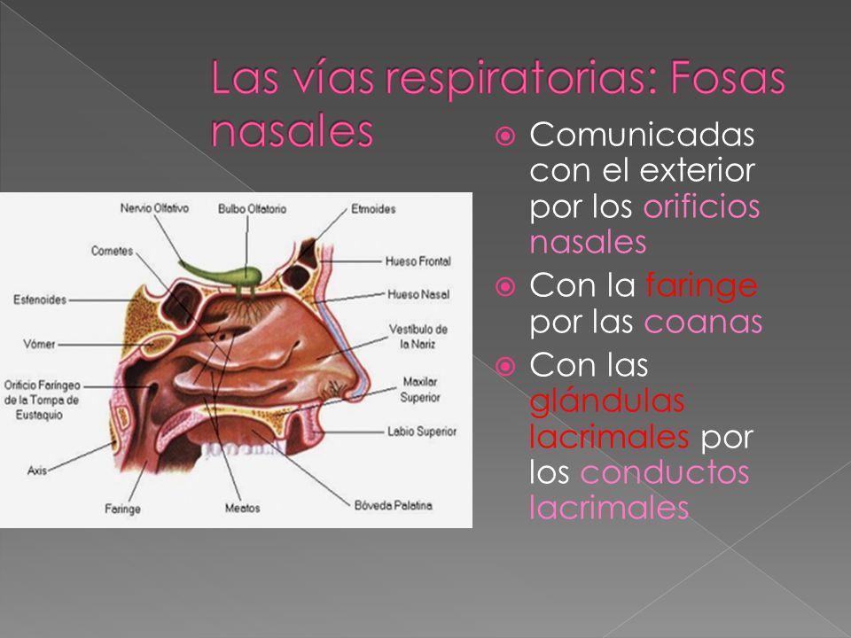 Rodeadas por el paladar, los nasales, el frontal y el etmoides. Separadas por el tabique nasal