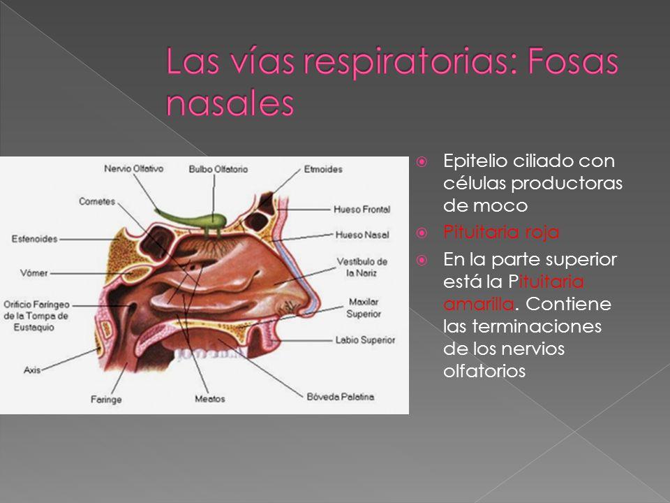 Comunicadas con el exterior por los orificios nasales Con la faringe por las coanas Con las glándulas lacrimales por los conductos lacrimales