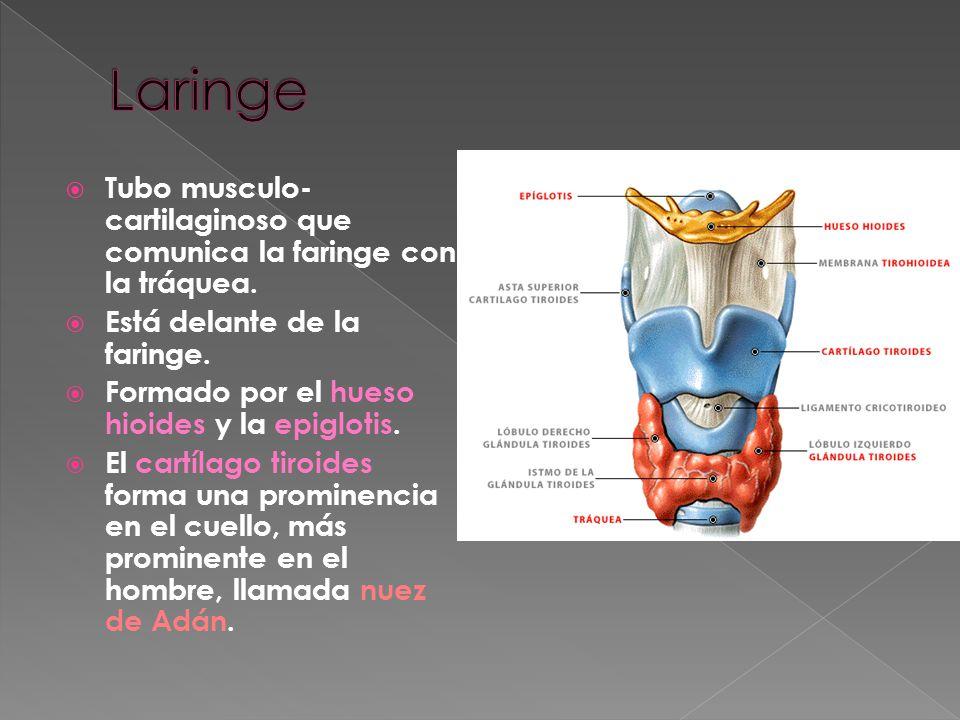 Tubo musculoso común a los aparatos digestivo y respiratorio. Comunica con: La boca El esófago Las fosas nasales La laringe El oído medio