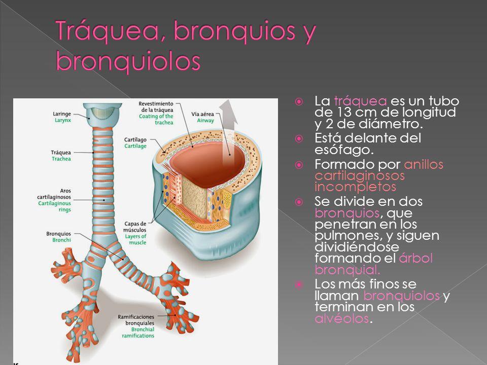 Durante la deglución cierra la entrada a la laringe para impedir que los alimentos entren en las vías respiratorias Dentro de la laringe se encuentran