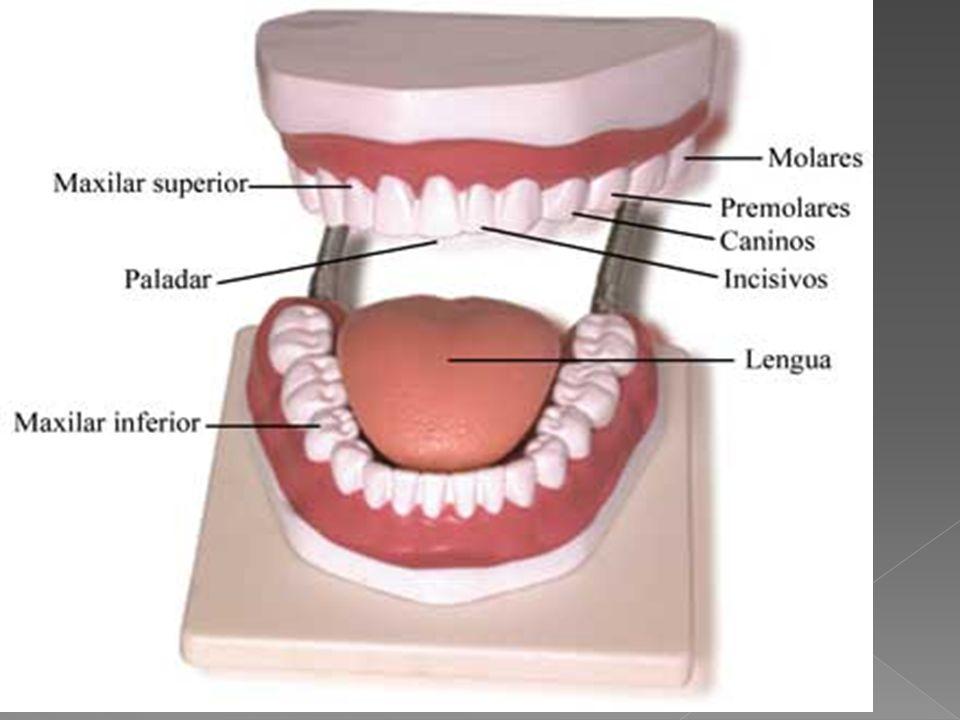 43 Los dientes tienen formas y funciones diferentes. Los incisivos, situados en el centro, son planos y cortan los alimentos ; los caninos, los desgar