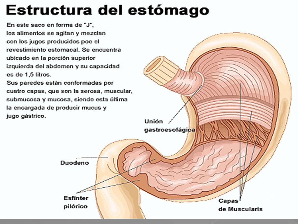 48 El bolo alimenticio cruza la faringe, sigue por el esófago y llega al estómago, una bolsa muscular de litro y medio de capacidad, cuya mucosa secre