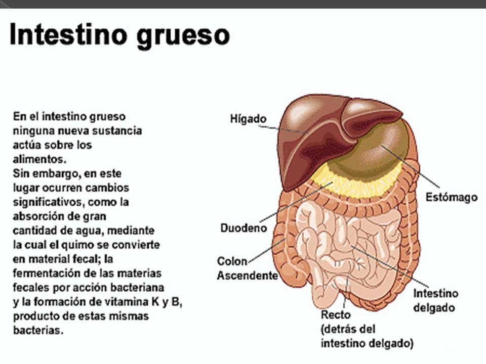 53 El proceso digestivo comprende una etapa de preparación del alimento, que tiene lugar en la boca; otra de tratamiento del alimento mediante una ser