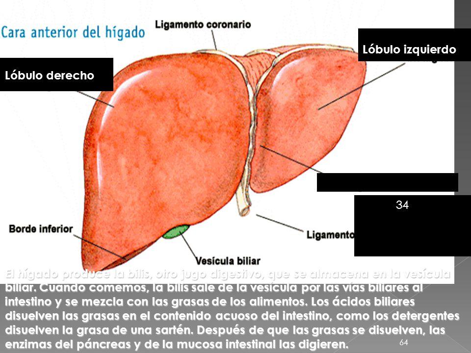 63 Duodeno Páncreas Lóbulo hepático izquierdo Glándulas anejas Además de las glándulas salivales, hay otras dos glándulas que contribuyen a la digesti
