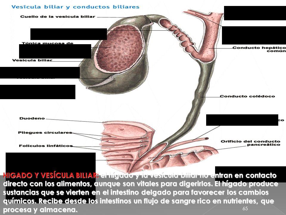 64 El hígado produce la bilis, otro jugo digestivo, que se almacena en la vesícula biliar. Cuando comemos, la bilis sale de la vesícula por las vías b