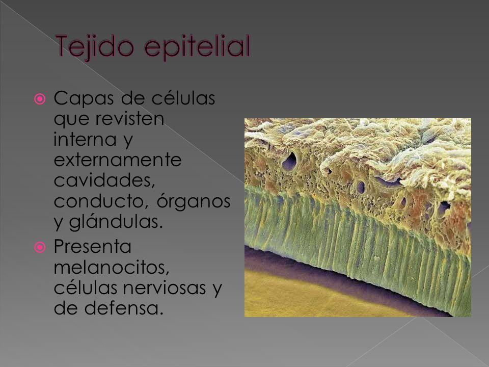 Tejido conjuntivo Fase liquida (plasma) Fase sólida (células sanguíneas) Glóbulos rojos Gl. blancos Plaquetas