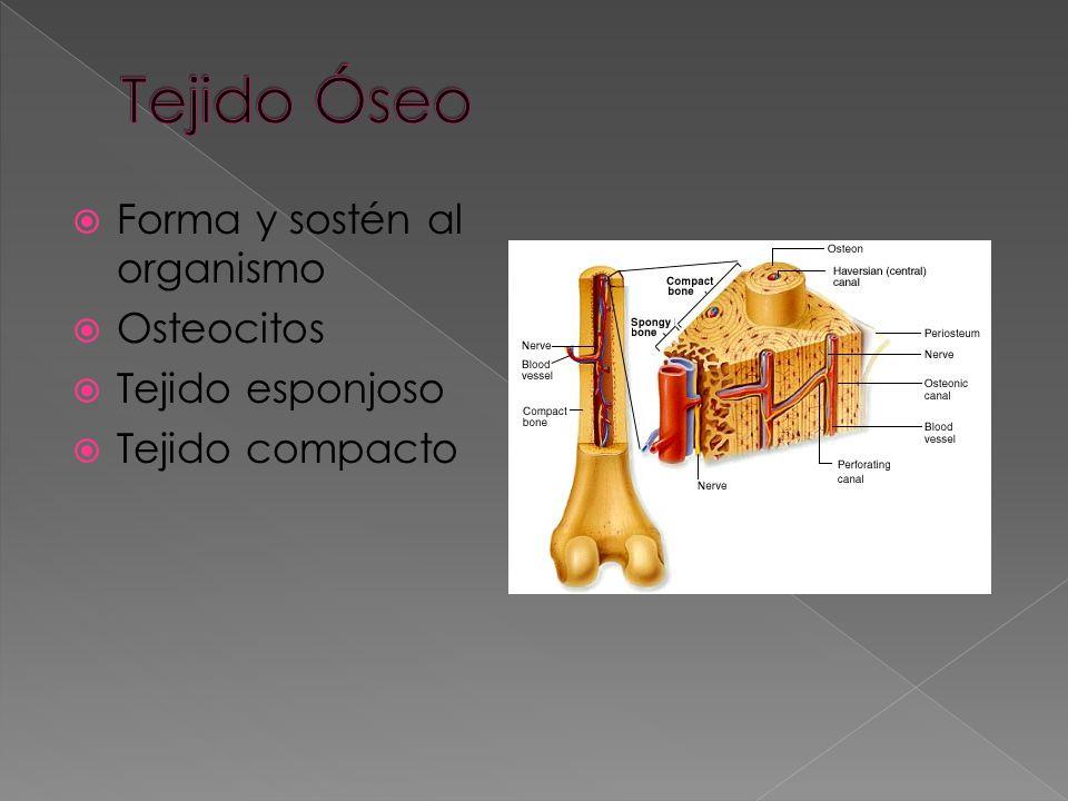 Miocitos Muscular estriado involuntario (corazón) Muscular liso voluntario, vasos sanguíneos y sistema digestivo.