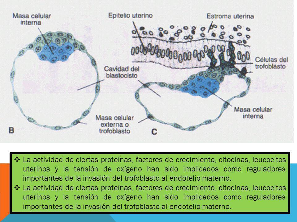 La actividad de ciertas proteínas, factores de crecimiento, citocinas, leucocitos uterinos y la tensión de oxígeno han sido implicados como reguladore