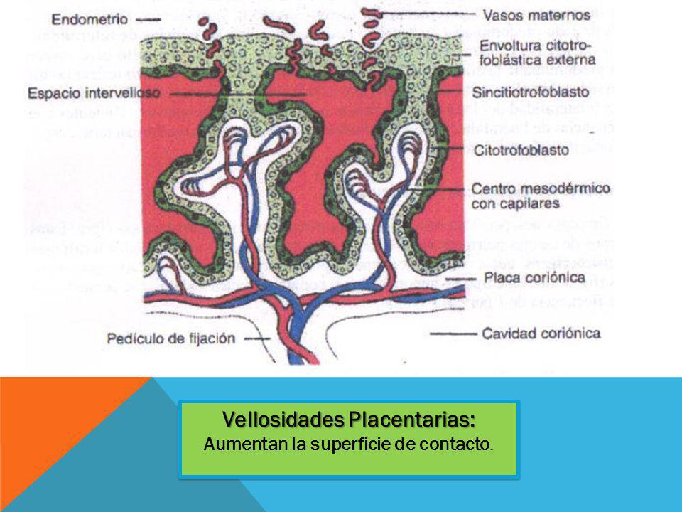 Vellosidades Placentarias: Vellosidades Placentarias: Aumentan la superficie de contacto.