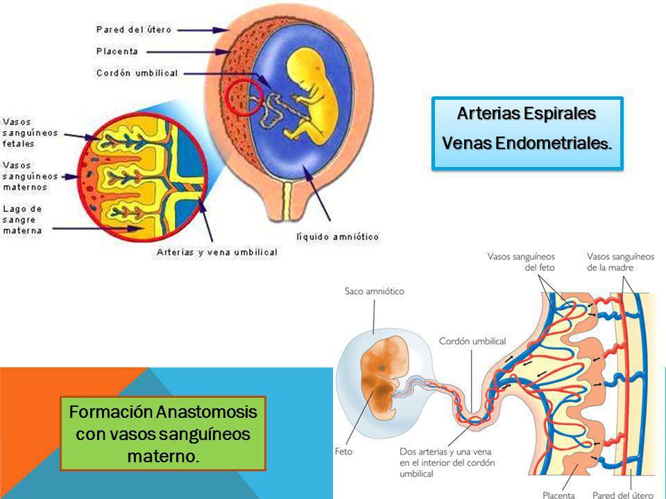Formación Anastomosis con vasos sanguíneos materno. Arterias Espirales Venas Endometriale s. Arterias Espirales Venas Endometriale s.