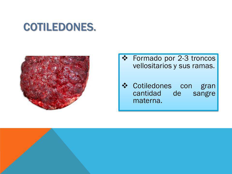 COTILEDONES. Formado por 2-3 troncos vellositarios y sus ramas. Cotiledones con gran cantidad de sangre materna. Formado por 2-3 troncos vellositarios