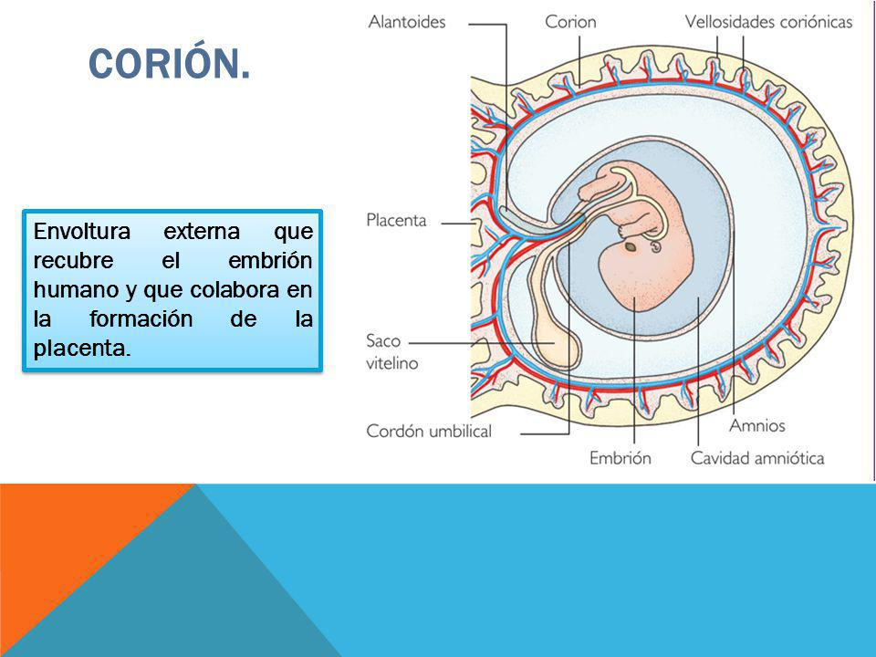 CORIÓN. Envoltura externa que recubre el embrión humano y que colabora en la formación de la placenta.