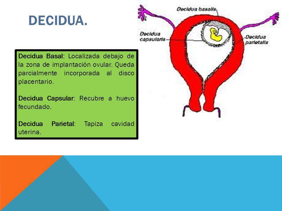 DECIDUA. Decidua Basal: Localizada debajo de la zona de implantación ovular. Queda parcialmente incorporada al disco placentario. Decidua Capsular: Re