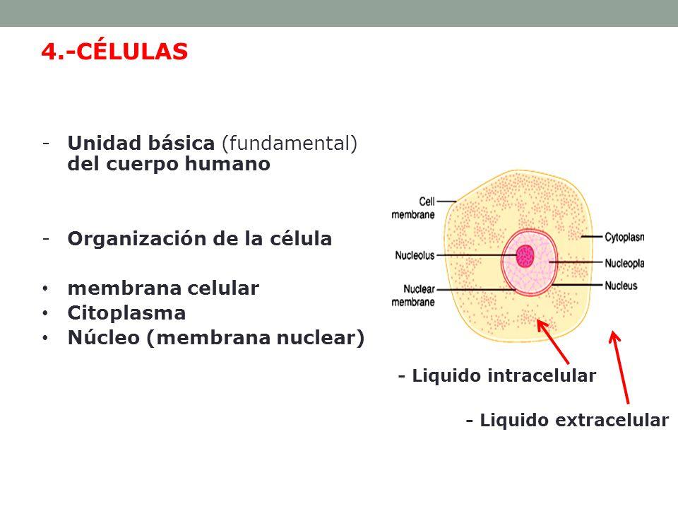MEDIO INTERNO: LIQUIDO EXTRACELULAR E INTRACELULAR 60 % del cuerpo humano adulto es líquido.