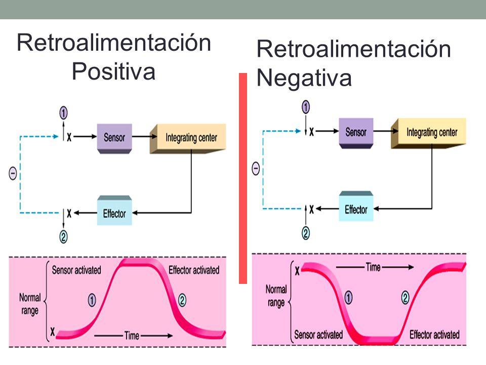 Tipos de circuitos de retroalimentación: -Negativo : intenta retornar a las condiciones preexistentes.