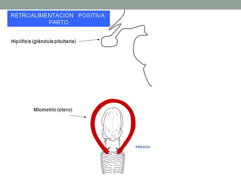 Hipófisis (glándula pituitaria) Miometrio (útero)