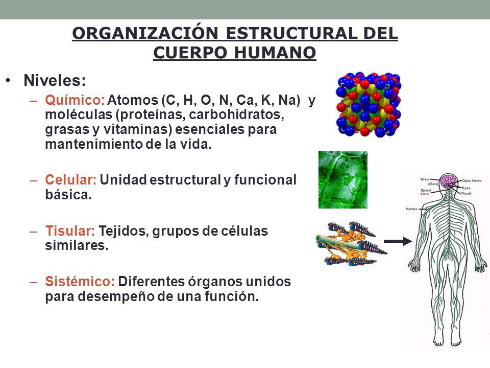 Los órganos están localizados en diferentes regiones del cuerpo y llevan a cabo funciones relacionadas.