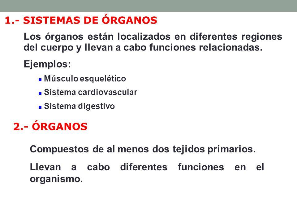 Músculo: contracción (esquelético, cardíaco, liso) Nervioso: neuronas y células del tejido de sostén.
