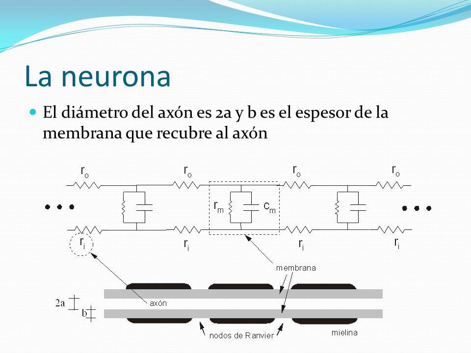 La neurona El diámetro del axón es 2a y b es el espesor de la membrana que recubre al axón