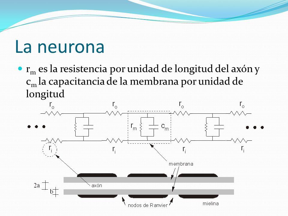 La neurona r m es la resistencia por unidad de longitud del axón y c m la capacitancia de la membrana por unidad de longitud