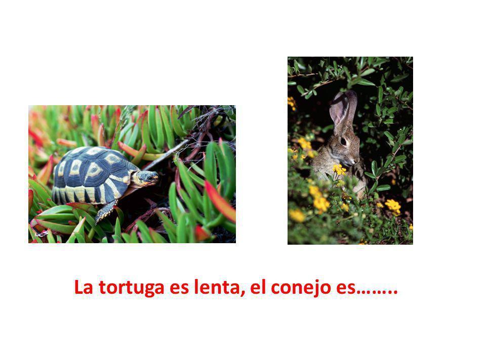 La tortuga es lenta, el conejo es……..