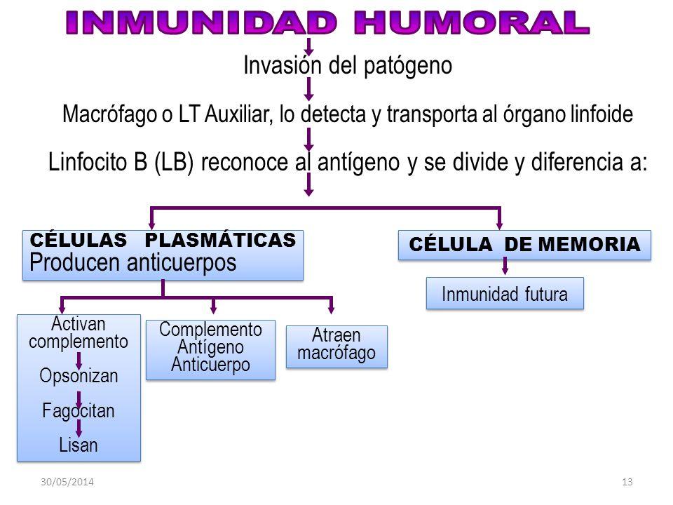 30/05/201413 Invasión del patógeno Macrófago o LT Auxiliar, lo detecta y transporta al órgano linfoide Linfocito B (LB) reconoce al antígeno y se divide y diferencia a: CÉLULA DE MEMORIA CÉLULAS PLASMÁTICAS Producen anticuerpos CÉLULAS PLASMÁTICAS Producen anticuerpos Activan complemento Opsonizan Fagocitan Lisan Activan complemento Opsonizan Fagocitan Lisan Complemento Antígeno Anticuerpo Complemento Antígeno Anticuerpo Atraen macrófago Inmunidad futura