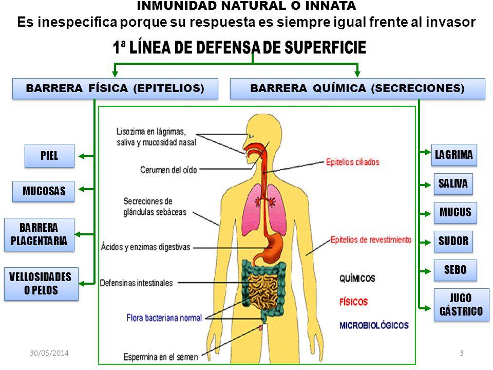 30/05/20144 Citoquinas Interleuquinas Linfoquinas Interferones Complemento MONOCITOS B (BAZO) Neutrofilos Eosinofilos Basofilos Macrófagos T(TIMO) INFLAMACIÓNINFLAMACIÓN T4 Helper T8 Natural Killer T8 Natural Killer LINFOCITOS Granulocitos Agranulocitos LEUCOCITOS PROTEINAS PLASMATICAS