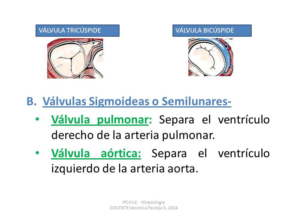 B.Válvulas Sigmoideas o Semilunares- Válvula pulmonar: Separa el ventrículo derecho de la arteria pulmonar.