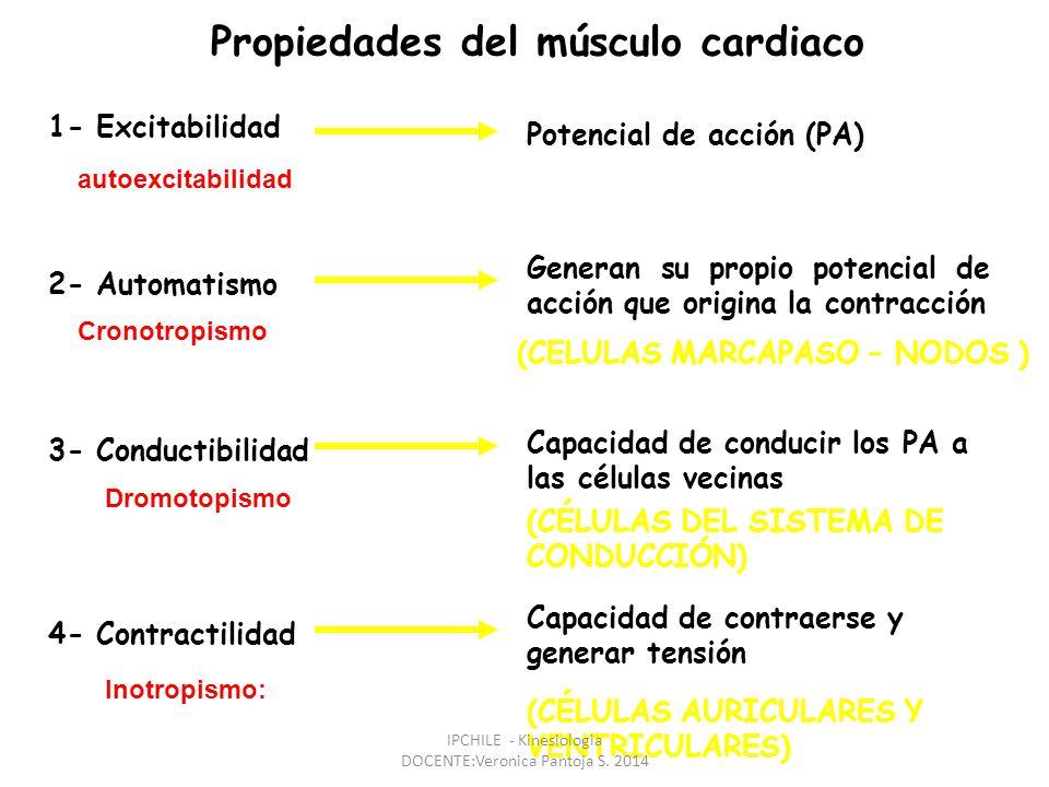 Propiedades del músculo cardiaco 1- Excitabilidad 2- Automatismo Potencial de acción (PA) 4- Contractilidad 3- Conductibilidad Generan su propio potencial de acción que origina la contracción (CELULAS MARCAPASO – NODOS ) (CÉLULAS AURICULARES Y VENTRICULARES) Capacidad de conducir los PA a las células vecinas (CÉLULAS DEL SISTEMA DE CONDUCCIÓN) Capacidad de contraerse y generar tensión Inotropismo: autoexcitabilidad Dromotopismo Cronotropismo IPCHILE - Kinesiologia DOCENTE:Veronica Pantoja S.