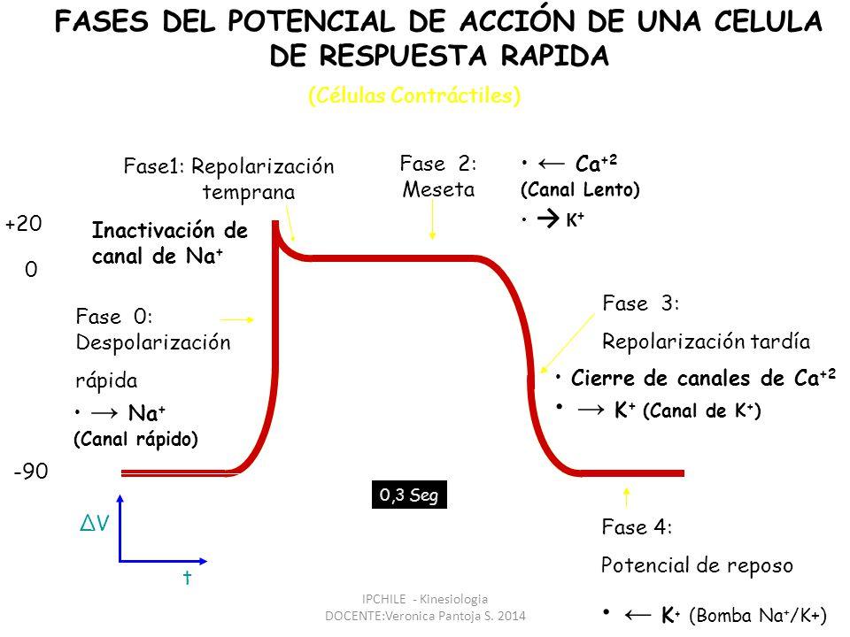 t ΔV FASES DEL POTENCIAL DE ACCIÓN DE UNA CELULA DE RESPUESTA RAPIDA Fase 2: Meseta Ca +2 (Canal Lento) K + Fase 0: Despolarización rápida Na + (Canal rápido) Fase1: Repolarización temprana Inactivación de canal de Na + -90 +20 0 0,3 Seg Fase 4: Potencial de reposo K + (Bomba Na + /K+) Fase 3: Repolarización tardía Cierre de canales de Ca +2 K + (Canal de K + ) (Células Contráctiles) IPCHILE - Kinesiologia DOCENTE:Veronica Pantoja S.